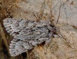 Xylocampa areola (I)