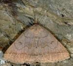 Zanclognatha lunalis (I)
