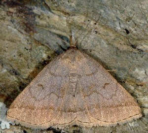 Zanclognatha lunalis 66