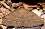 Zanclognatha zelleralis (I, L5)
