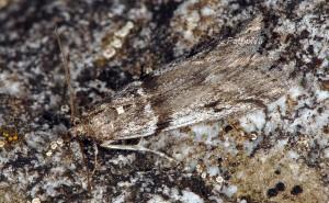 Zophodia grossulariella 05 1