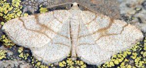 Adactylotis contaminaria 83 1