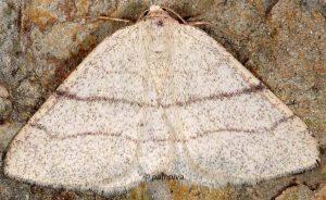 Adactylotis gesticularia 66 1