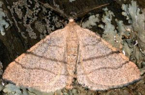 Adactylotis gesticularia 66 2