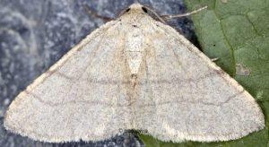 Adactylotis gesticularia 66 3