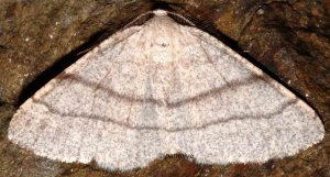 Adactylotis gesticularia 66 4