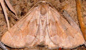 Adalbertia castiliaria 66 1