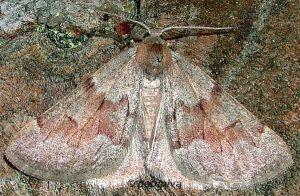 Adalbertia castiliaria 66 2