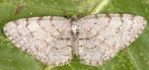 Aethalura punctulata 06 1