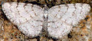 Aethalura punctulata 06 2