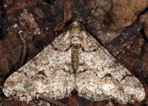 Agriopis leucophaearia 06 2