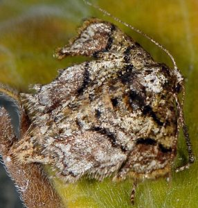 Agriopis marginaria 06 2
