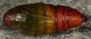 Agriopis marginaria chrysalide 66