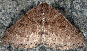 Aleucis distinctata 06 2