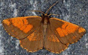 Angerona prunaria 38 1