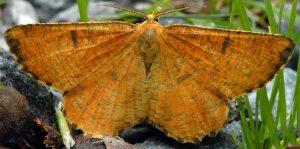 Angerona prunaria 38 3