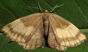 Angerona prunaria 38 4