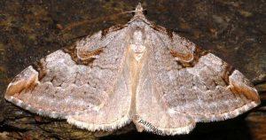 Aplocera praeformata 09 1