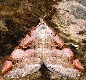 Aplocera praeformata 09 2