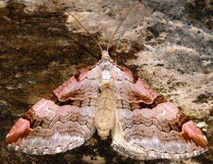 Aplocera praeformata 09 3