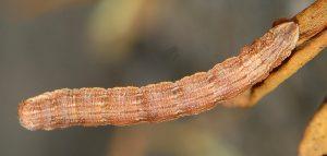 Aplocera simpliciata L3 1