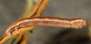 Aplocera simpliciata L3 2