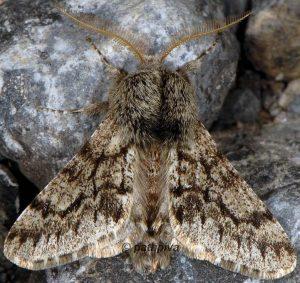 Apocheima hispidaria 06 1