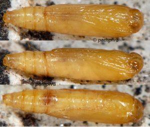 Araeopteron ecphaea p