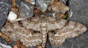 Ascotis selenaria 06 1
