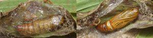 Aspitates ochrearia cocon 06 1