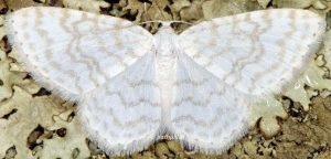 Asthena albulata 06 1