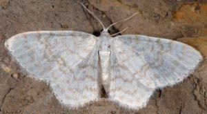 Asthena albulata 06 2