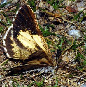 Bupalus piniaria 09 2