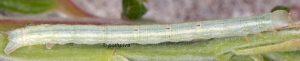 Cabera-exanthemata-l5-73-2