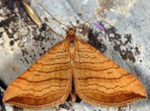 Carsia lythoxylata 06 1