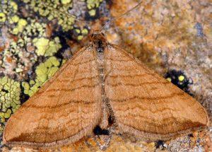 Carsia lythoxylata 06 3
