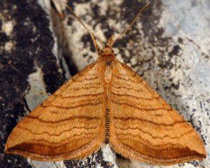Carsia lythoxylata 06 4
