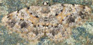 Charissa corsica 2B 3