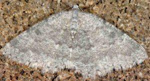 Charissa glaucinaria 06 2