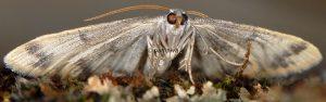 Charissa variegata 06 2