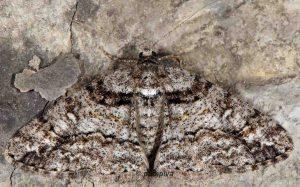 Cleora cinctaria 06 2
