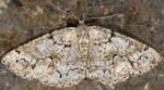 Cleorodes lichenaria 83 1