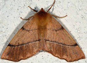 Colotois pennaria 06 1