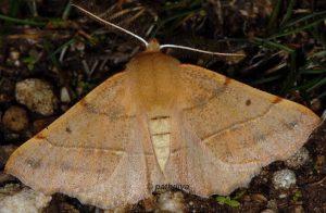 Colotois pennaria 06 2