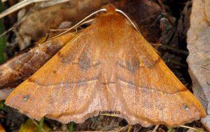 Colotois pennaria 06 3
