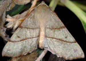 Colotois pennaria 2A 1