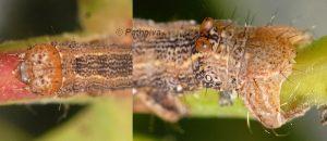Colotois pennaria L3 2A 3