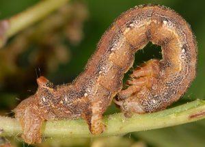 Colotois pennaria L4 2A 2