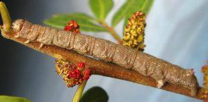 Colotois pennaria L5 2A 3