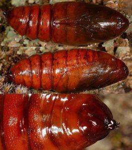 Colotois pennaria chrysalide 2A 1